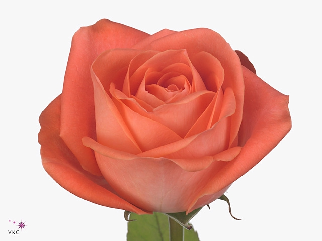 Rosa Gr. Giardina
