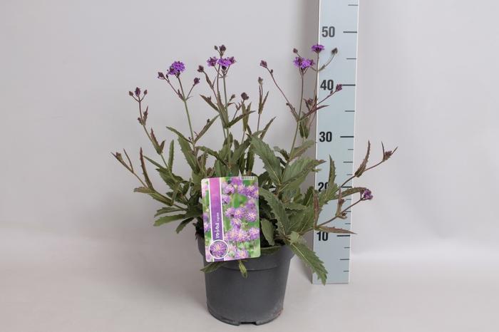 vaste planten 19 cm  Verbena venosa Rigida