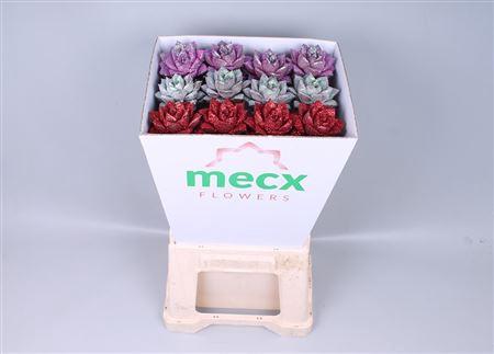 <h4>Echeveria Glitter Love Mix (mecx Flowers)</h4>