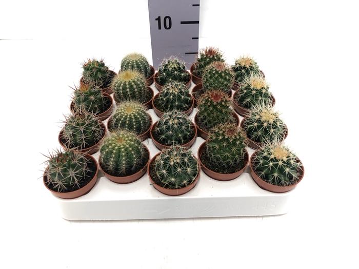 <h4>Cactus mix 5,5Ø 5cm LuxeMix</h4>