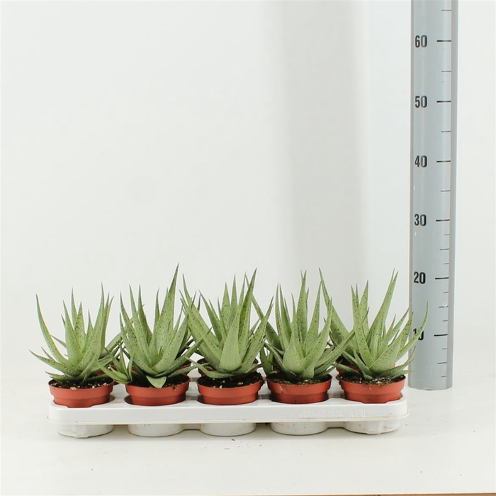 <h4>Aloe Rauhii Snow Flake</h4>