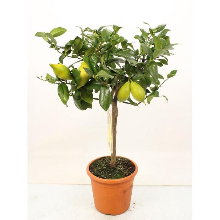 <h4>Citrus Lemon Stem (it-19-1560)</h4>