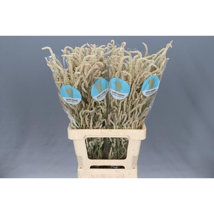 <h4>Amaranthus Yearning Desert</h4>