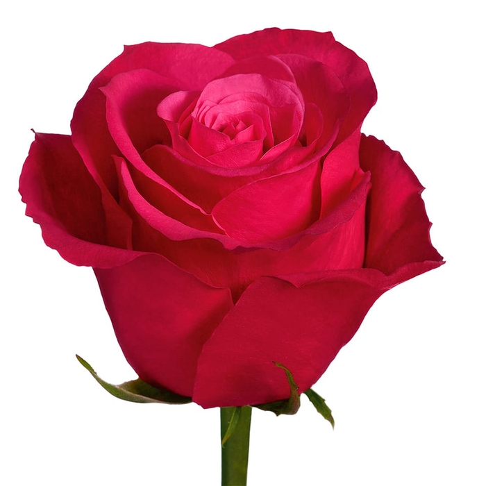 <h4>Rosa Gr Cherry o! (Nevado)</h4>