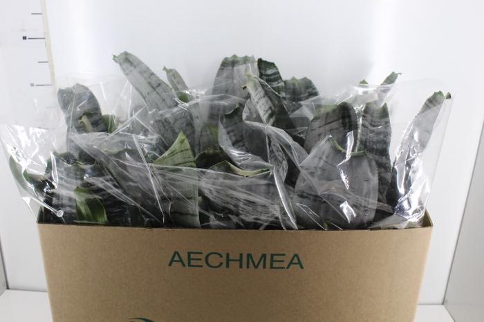 <h4>AECHMEA FASCIATA P17</h4>