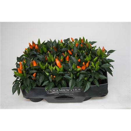 <h4>Capsicum Ornamenties Oranje</h4>