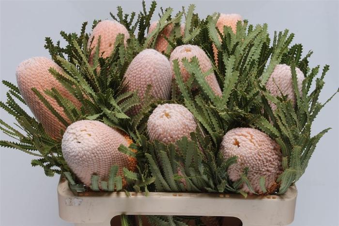 <h4>Banksia Hookeriana</h4>