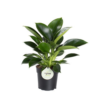 <h4>Philodendron Green Princess</h4>