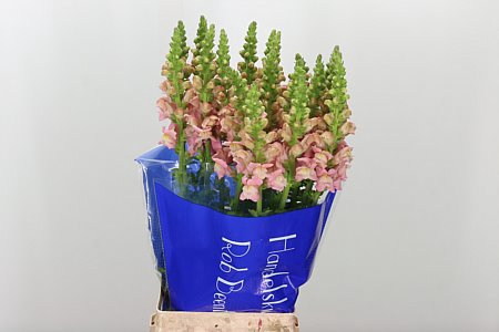 <h4>Antirrhinum Nl. Pink Potomac</h4>