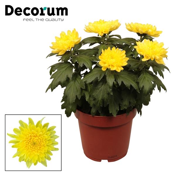<h4>Chrysanthemum Zembla yellow</h4>