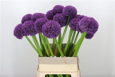 <h4>Allium Big Purple</h4>