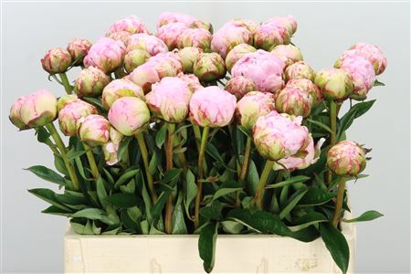 <h4>Paeonia Pillow Talk L Pink</h4>