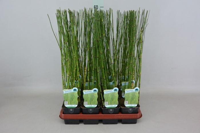 <h4>Equisetum hyemale</h4>