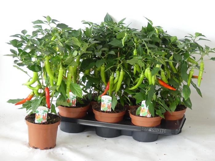 <h4>PEPER PLANTEN</h4>