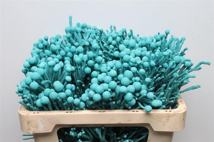 <h4>Kaaps Brunia Ice Blue</h4>