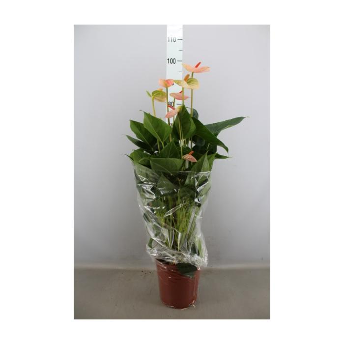 <h4>Anthurium andr. 'Leganza'</h4>