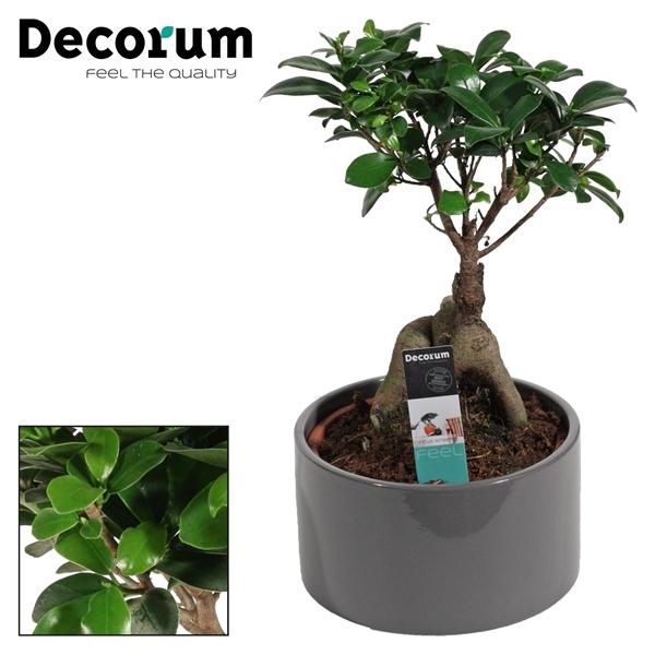 <h4>Ficus Microcarpa Ginseng geënt 16 cm in Grey (Decorum)</h4>