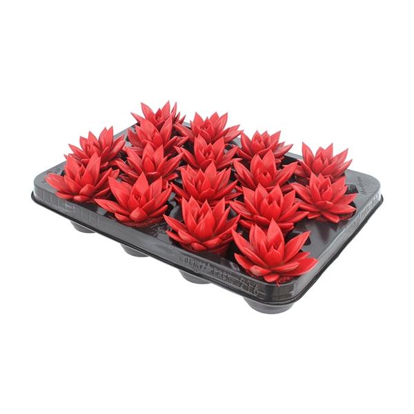 <h4>Echeveria coloured tomato red</h4>