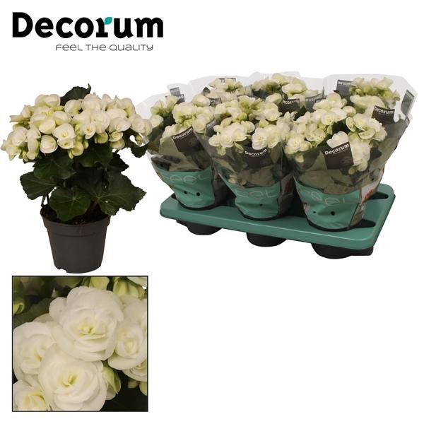 <h4>Begonia 'clara white' wit</h4>