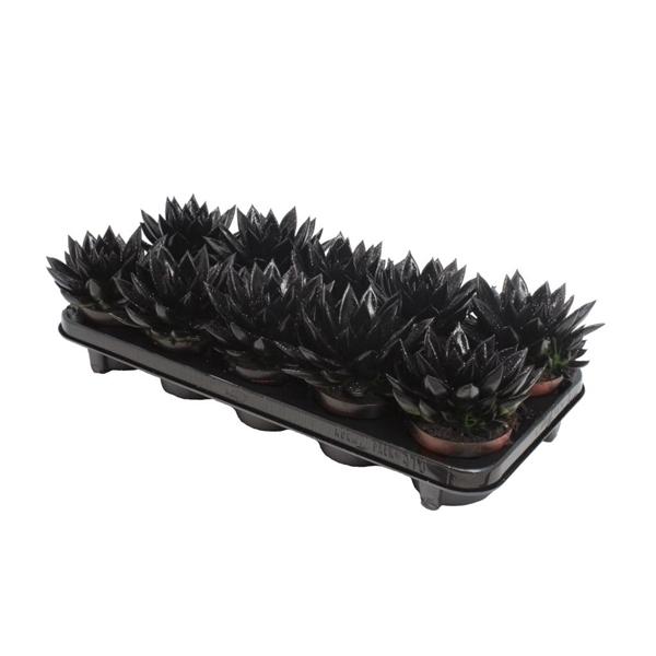 <h4>Echeveria coloured black + glitter</h4>