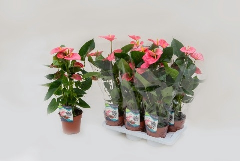 <h4>Anthurium andr. 'Arisa Pink'</h4>