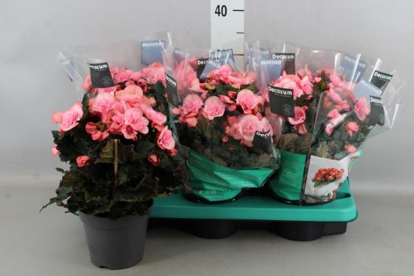 <h4>Begonia elat. DU 'Move2Joy Pink'</h4>