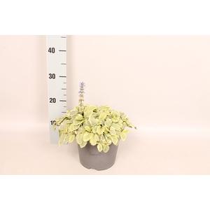 vaste planten 19 cm  Ajuga reptans Variegata