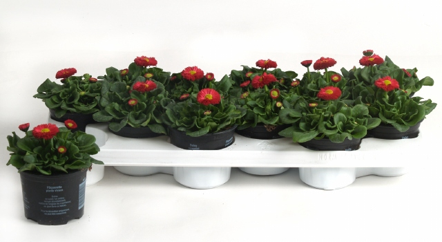<h4>BELLIS P KL RU RED</h4>