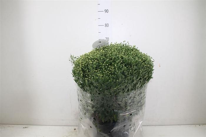 <h4>Chrysanth Gr Bol 70cm Creme Xl</h4>