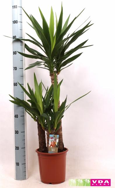 <h4>Yucca 21Ø 115cm 2Head</h4>