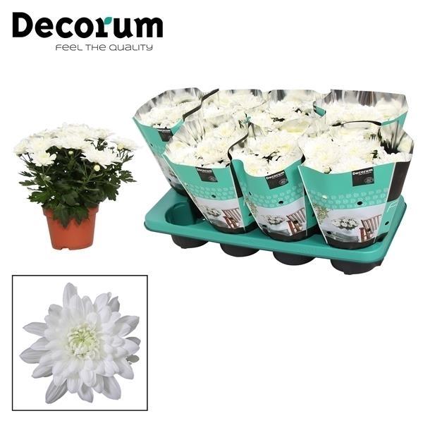 <h4>Chrysanthemum Chrystal White</h4>
