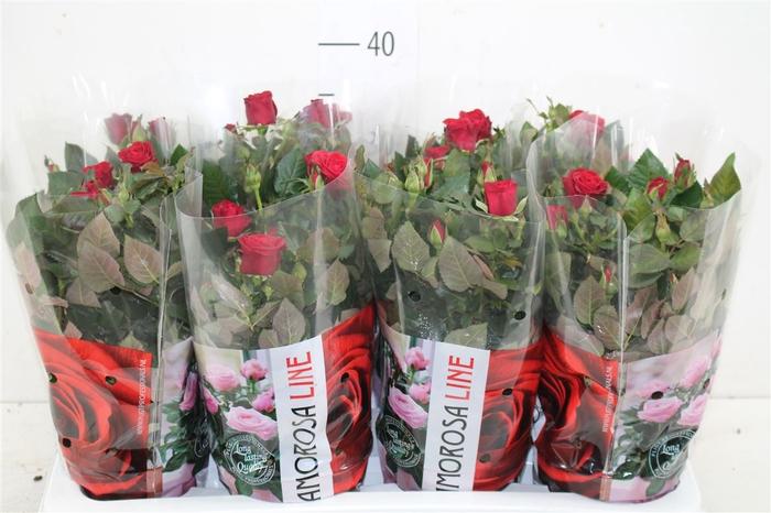 <h4>Rosa Amorosa Rood</h4>