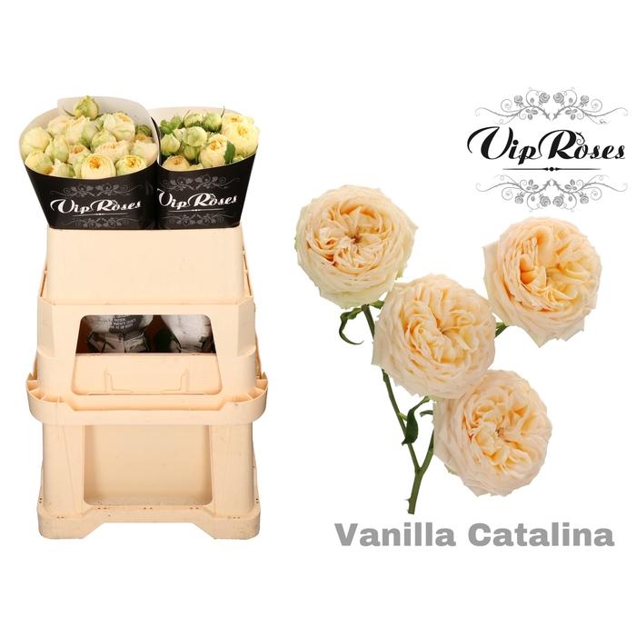 <h4>R TR VANILLA CATALINA</h4>