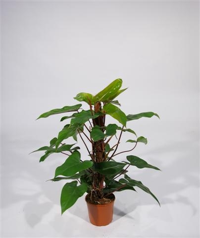 <h4>Philodendron Red Emerald</h4>