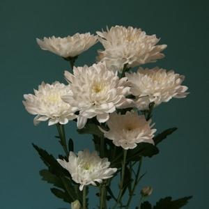Chrysanthemum spray Fortune White