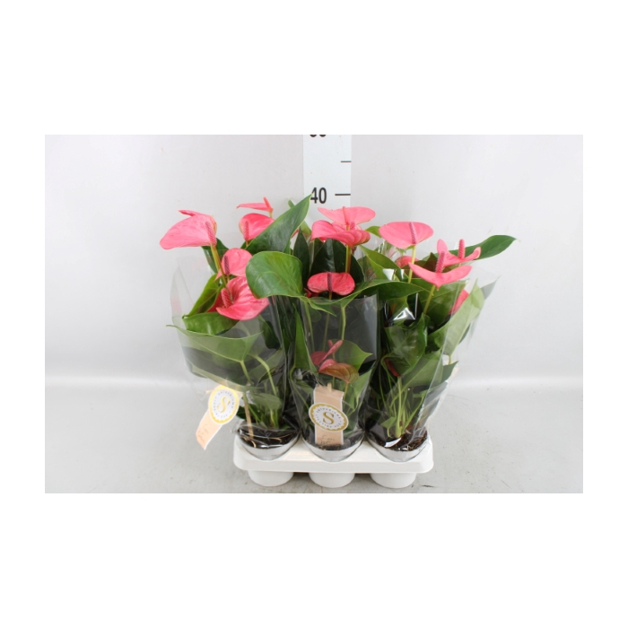 <h4>Anthurium andr. 'Pink Champion'</h4>