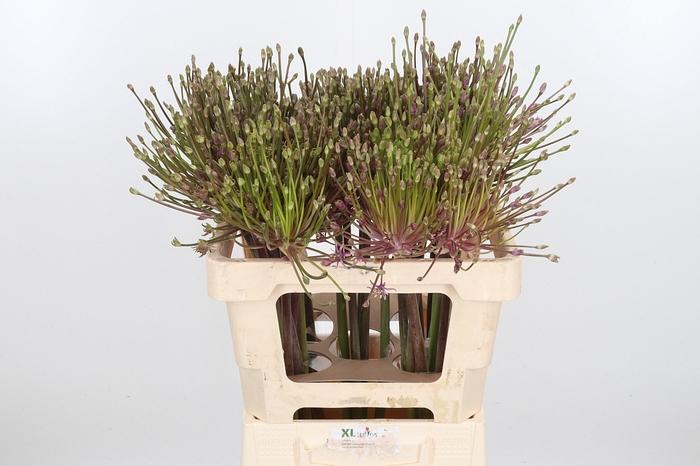 <h4>Allium Schuberti</h4>