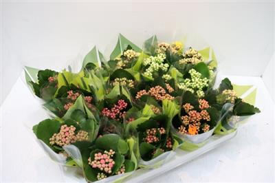 17.GEM MINI KALANCHOE