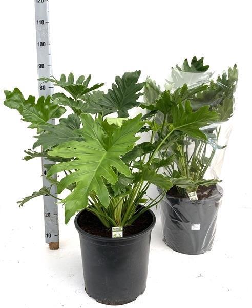 <h4>Philodendron bipinnatifidum Shangri-La 32Ø 90cm</h4>