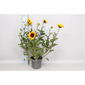 Perkplanten 19 cm  Helianthus Sunbelievable Brown Eyed Girl