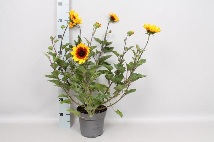 <h4>Perkplanten 19 cm  Helianthus Sunbelievable Brown Eyed Girl</h4>