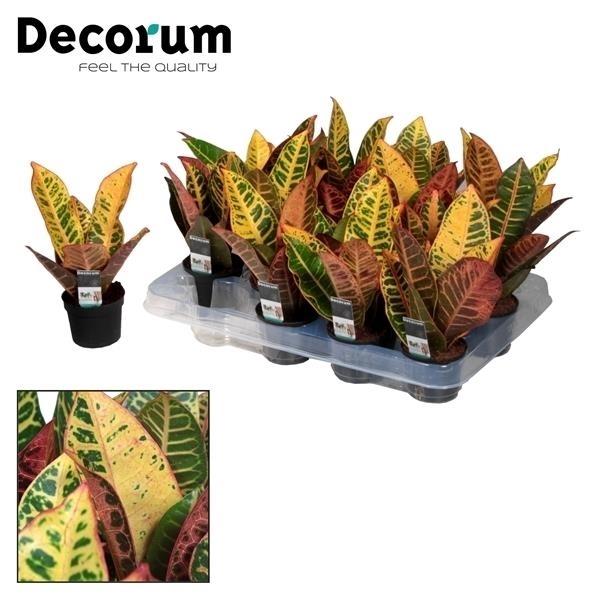 <h4>Croton Petra kopstek 7 cm (Decorum)</h4>