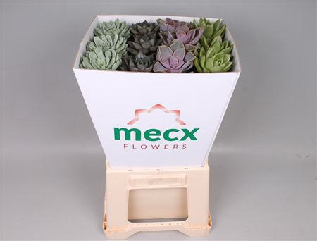 <h4>Echeveria Mix (mecx Flowers)</h4>