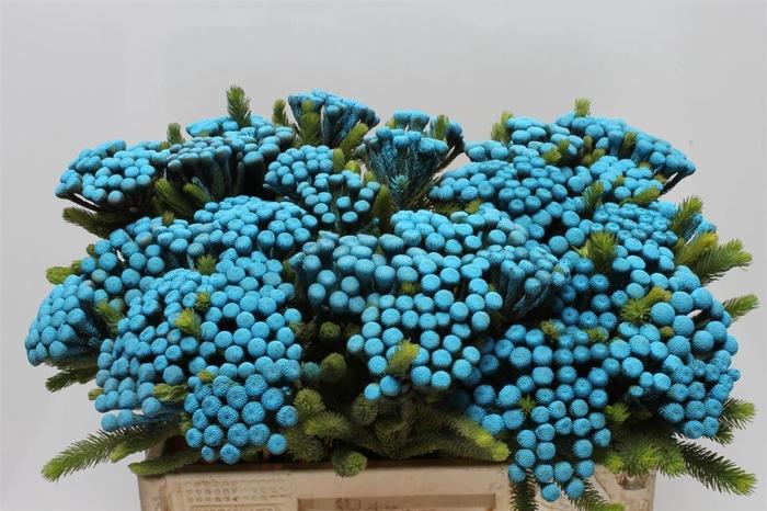 <h4>Kaaps Albiflora M Blue</h4>