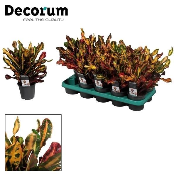 <h4>Croton Mammi 3pp kopstek (Decorum)</h4>