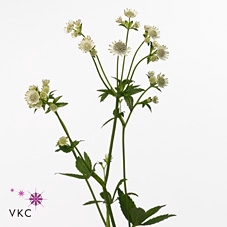 <h4>ASTRANTIA BILLION STARS</h4>
