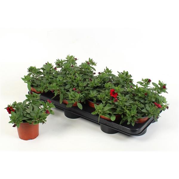 <h4>Calibrachoa Minifamous Dark Red</h4>