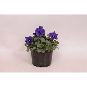 Viola cornuta F1 Blue