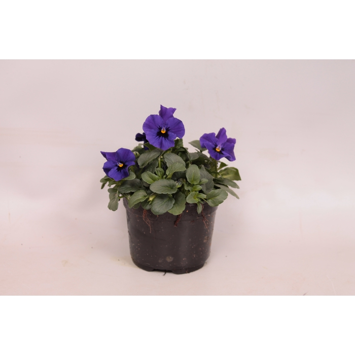 <h4>Viola cornuta sixpack F1 Deep Blue with Botch</h4>