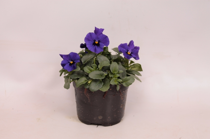 <h4>Viola cornuta F1 Deep Blue with Botch</h4>
